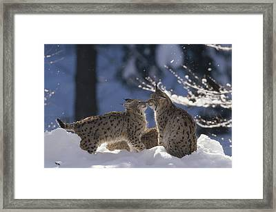 Eurasian Lynx Pair Touching Noses Framed Print by Konrad Wothe
