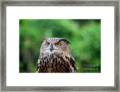Eurasian Or European Eagle Owl Bubo Bubo Stares Intently Framed Print