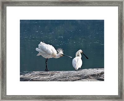 Eurasian Spoonbill Courtship Display Framed Print by K Jayaram