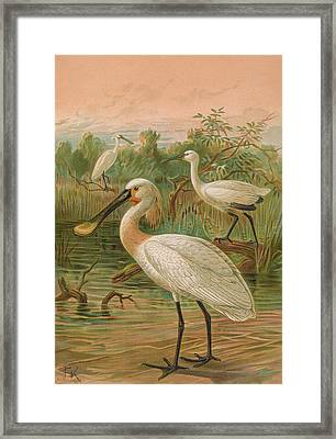 Eurasian Spoonbill Framed Print by Dreyer Wildlife Print Collections