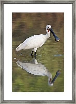 Eurasian Spoonbill Platalea Leucorodia Framed Print