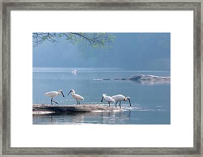 Eurasian Spoonbills Feeding Framed Print