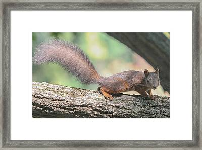 Framed Print featuring the photograph Euroasian Red Squirrel - Sciurus Vulgaris by Jivko Nakev