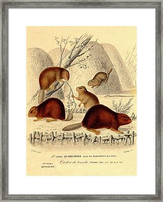 European Beavers Framed Print by Collection Abecasis