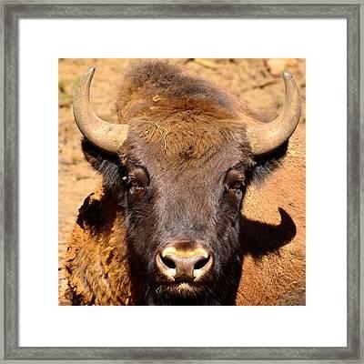 European Bisons Framed Print by Tommytechno Sweden