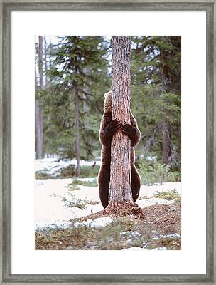 European Brown Bear Framed Print