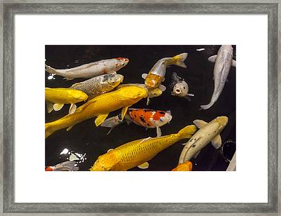 European Carp  Framed Print