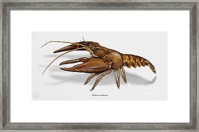 European Crayfish Astacus Astacus - Flusskrebs - Ecrevisse A Pattes Rouges - Jokirapu Framed Print