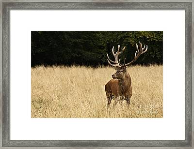 Framed Print featuring the photograph Bull Elk by Inge Riis McDonald