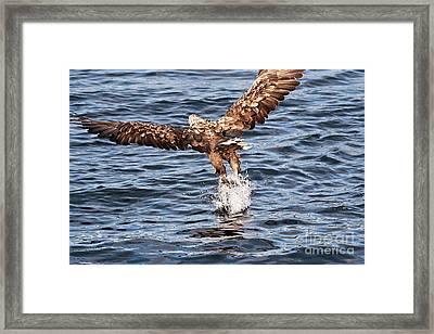 European Fishing Sea Eagle 2 Framed Print by Heiko Koehrer-Wagner