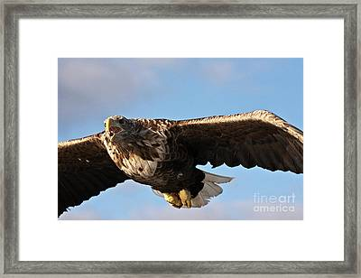 European Flying Sea Eagle 1 Framed Print by Heiko Koehrer-Wagner