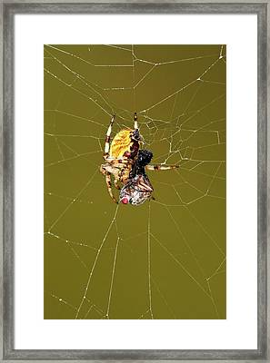 European Garden Spider And Prey Framed Print by Heiti Paves