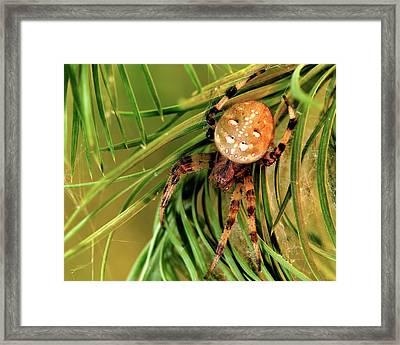 European Garden Spider Framed Print by Heiti Paves