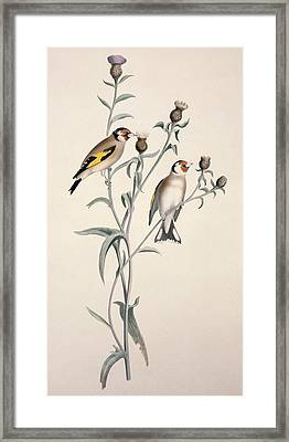 European Goldfinch, 19th Century Framed Print by Science Photo Library