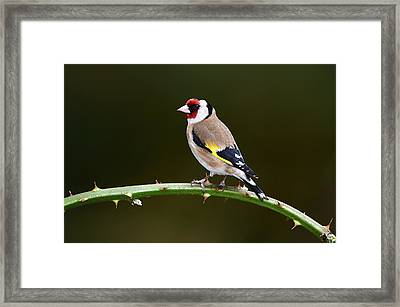 European Goldfinch Framed Print by Colin Varndell