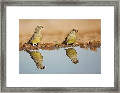 European Greenfinch (carduelis Chloris) Framed Print by Photostock-israel