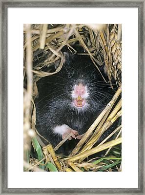 European Hamster Framed Print by Duncan Usher