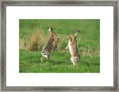 European Hares In March Framed Print