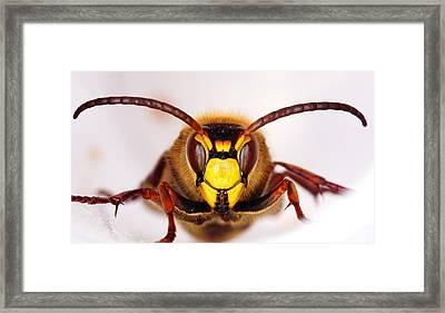 European Hornet-vespa Crabro Framed Print by Marko Lengar
