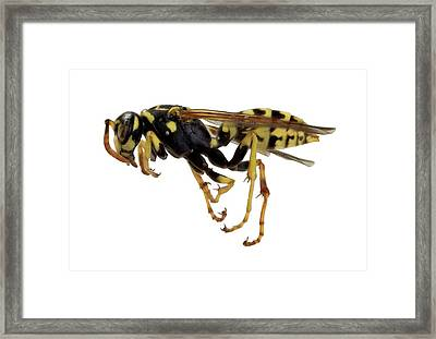 European Paper Wasp Framed Print by F. Martinez Clavel