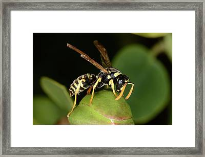 European Paper Wasp Framed Print by Nigel Downer