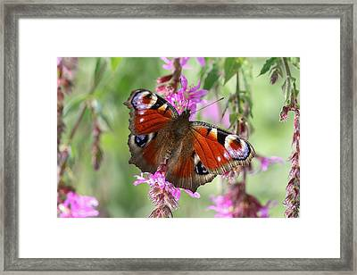 Framed Print featuring the photograph European Peacock Butterfly - Nymphalis Io by Jivko Nakev