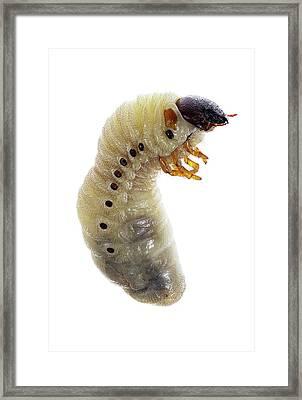 European Rhinoceros Beetle Larva Framed Print by F. Martinez Clavel