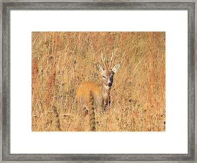 European Roe Deer Framed Print by Jivko Nakev