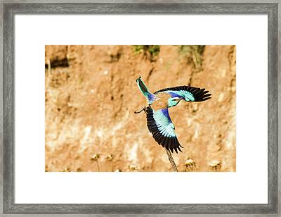 European Roller (coracias Garrulus) Framed Print by Photostock-israel