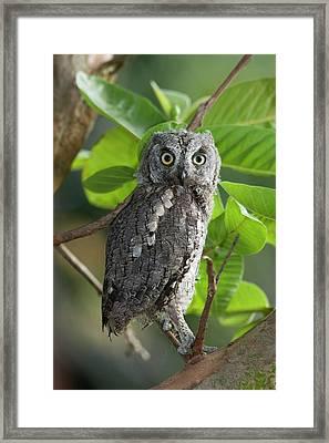 European Scops Owl (otus Scops) Framed Print by Photostock-israel