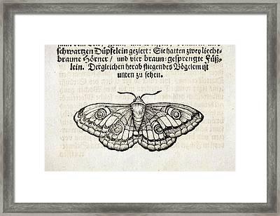 European Silkmoth Framed Print