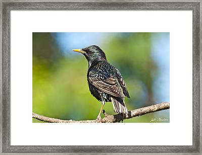 European Starling In A Tree Framed Print