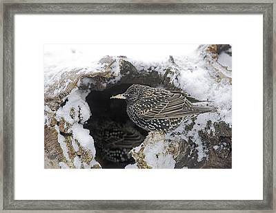 European Starling Framed Print