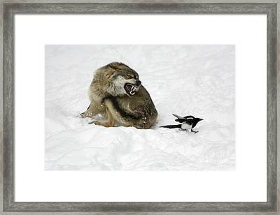 European Wolf And Magpie Framed Print