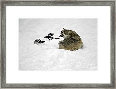 European Wolf With Magpies Framed Print