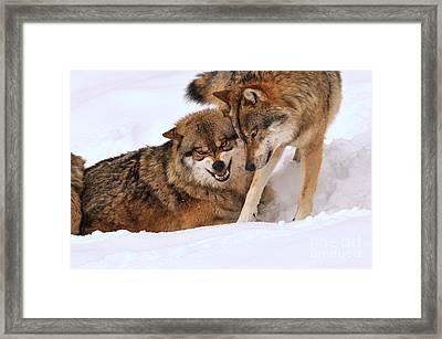 European Wolves Framed Print by Reiner Bernhardt