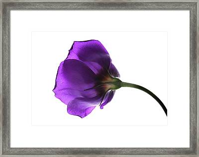 Eustoma Grandiflorum. Framed Print