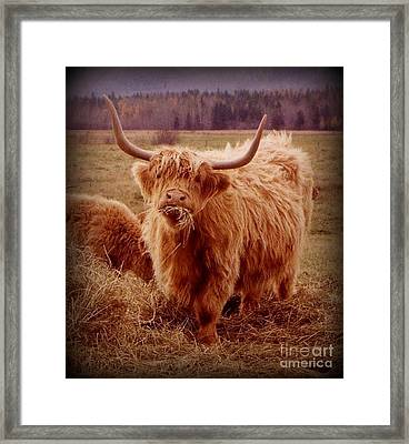 Even Cape Breton Cattle Have Character Framed Print
