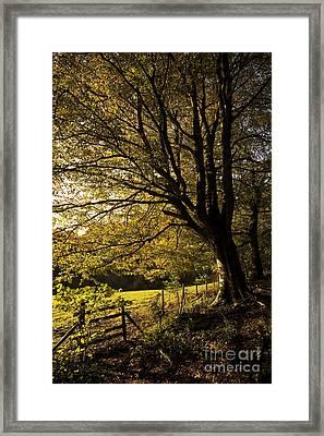 Evening Beech Framed Print by Anne Gilbert