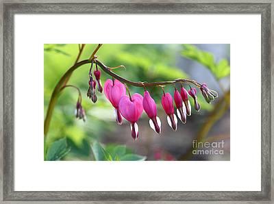 Evening Bleeding Hearts 2013 Framed Print by Steve Augustin