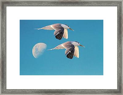 Evening Flight Framed Print