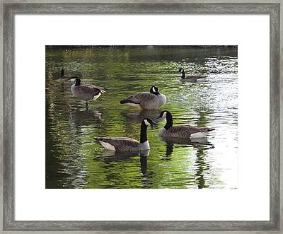 Evening Geese Gathering Framed Print