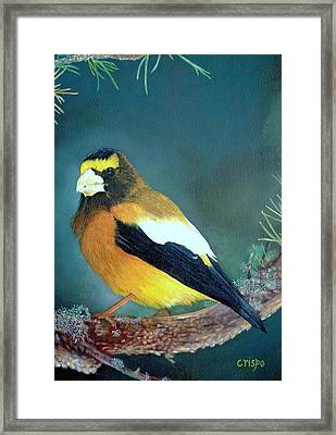 Evening Grosbeak Framed Print by Jean Yves Crispo