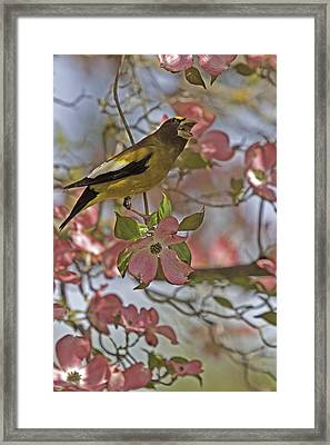 Evening Grosbeak Framed Print