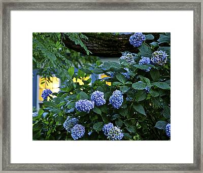 Evening Hydrangeas Framed Print