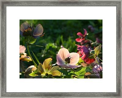 Evening Light Framed Print by Liz  Alderdice