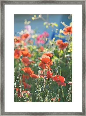 Evening Lights The Poppies Framed Print