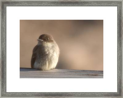 Evening Phoebe Framed Print