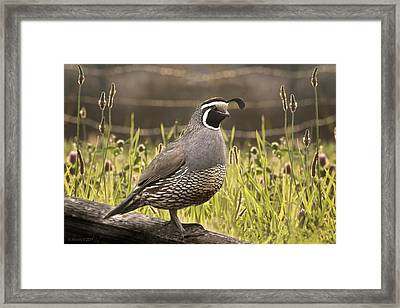 Evening Quail Framed Print by Melisa Meyers