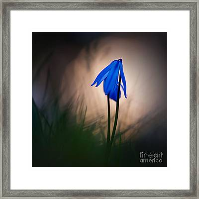 Evening Stars Framed Print by Uma Wirth